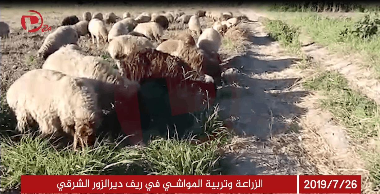 Photo of الزراعة وتربية المواشي في ريف ديرالزور الشرقي
